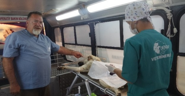 Tosya'da sokak köpekleri kısırlaştırılıyor