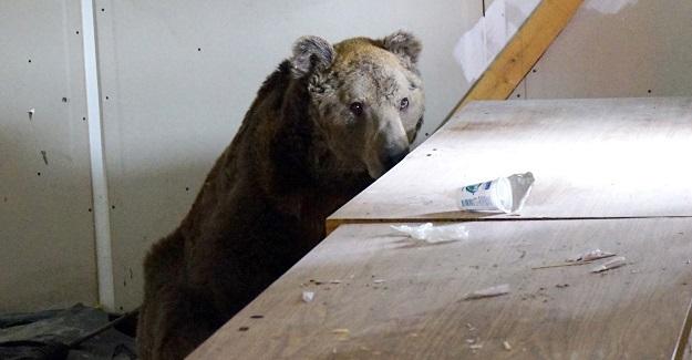 Boş depoya sığınan ayı, doğal yaşamına geri döndü