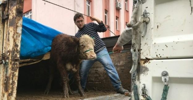 Kastamonu'da çiftçilere sığır hibe edildi
