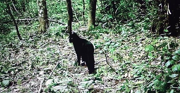 Küre Dağları'nda siyah yaban kedisi görüntülendi