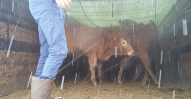 Pınarbaşı'da çiftçilere 24 sığır hibe edildi