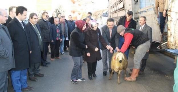 Kastamonu'da 9 çiftçiye 360 koyun verildi