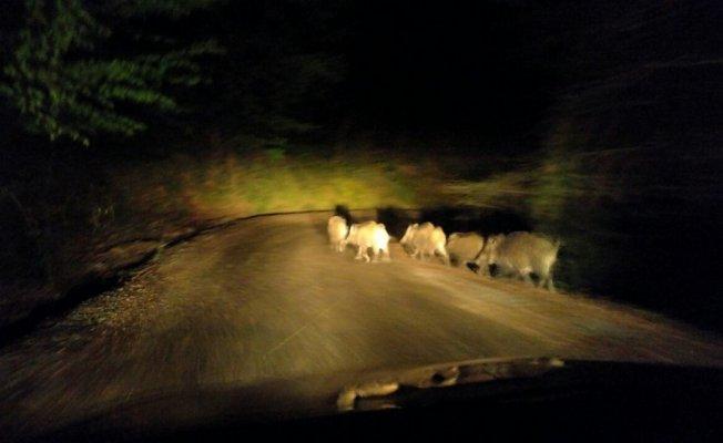 Aç kalan domuzlar yerleşim yerlerine indi