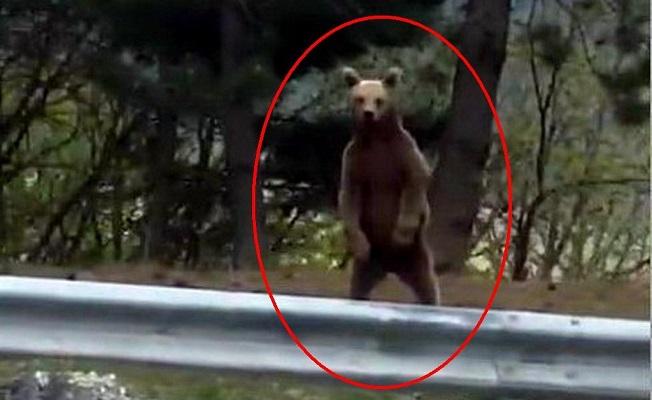 Ilgaz Dağı'nda yavru ayı vatandaş kamerasına yakalandı