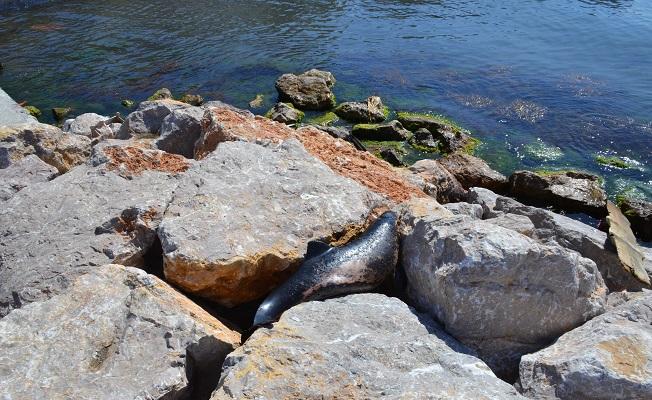 Sinop'ta yunuslar sahile vurdu