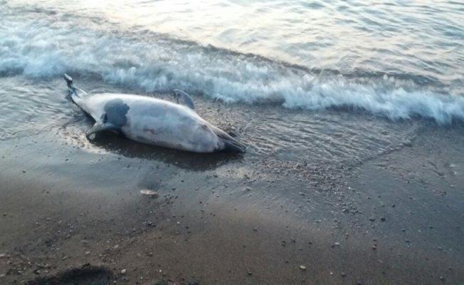 Cide'de sahile ölü yunus vurdu